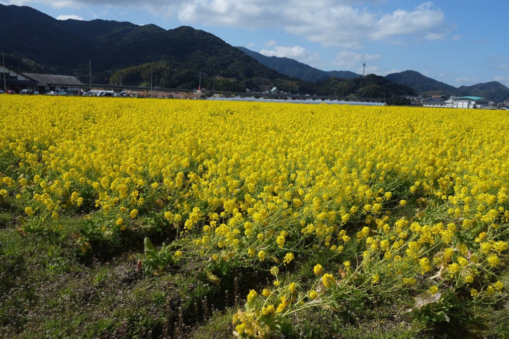 菜の花の咲く道